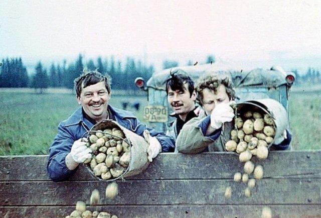 Старшие и младшие научные сотрудники на картошке. СССР. 1986 г.