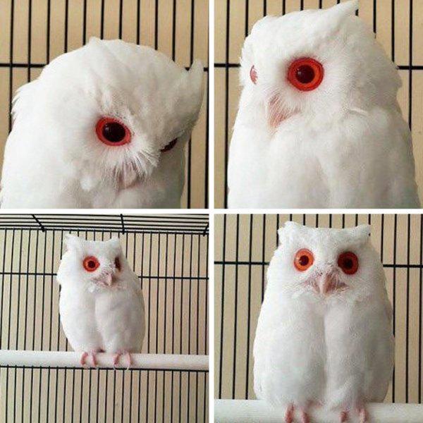 Белоснежная сова-альбинос
