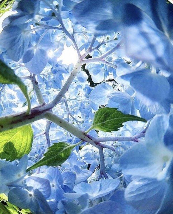 Соцветие гортензии изнутри