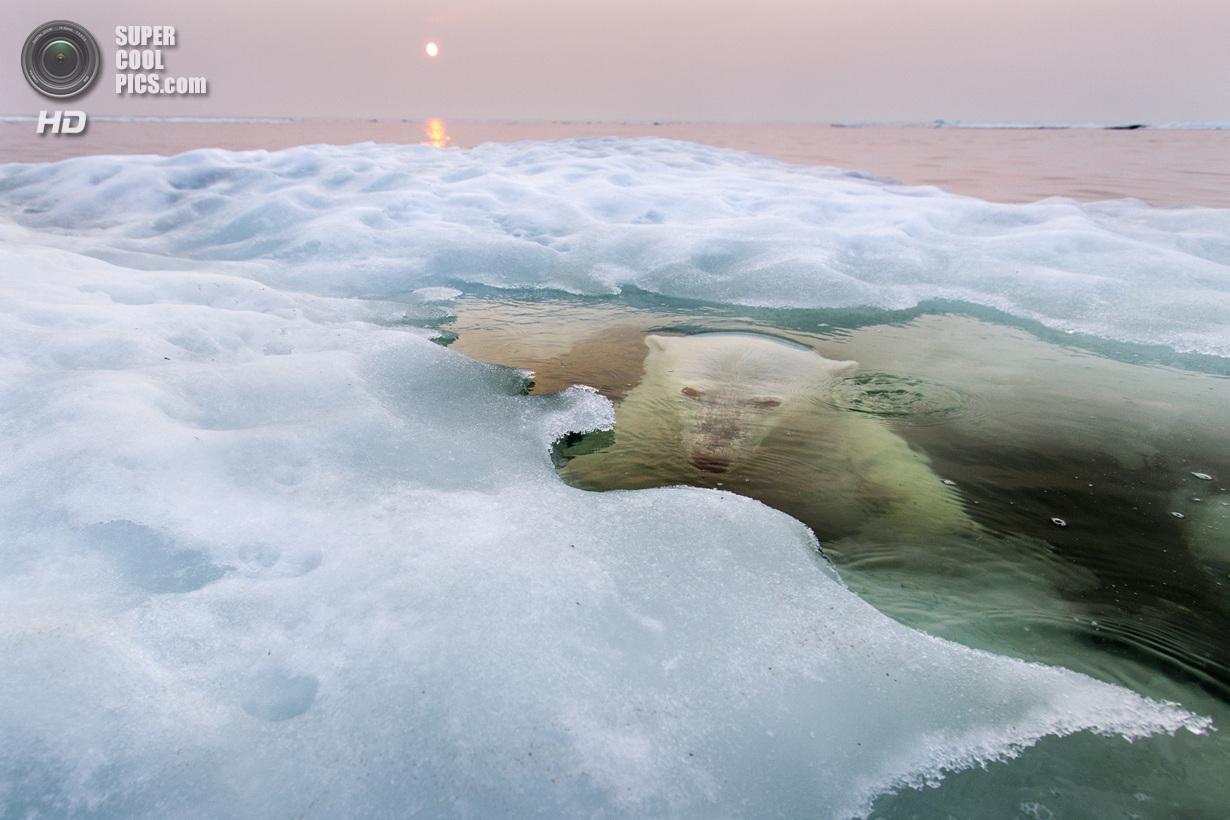 Гран-при конкурса, победитель в номинации «Природа». Белый медведь выныривает из-под тающего льда в Гудзоновом заливе. Место съемки: Канада. Манитоба. (Paul Souders/National Geographic Photo Contest)