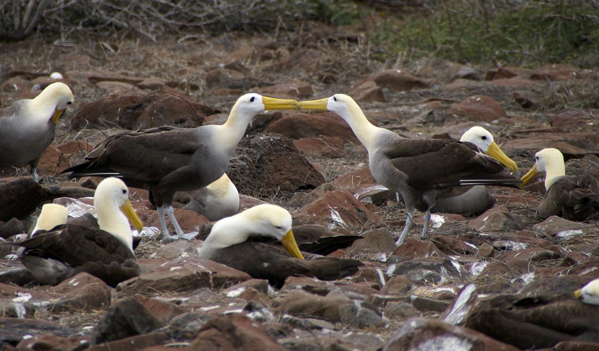Галапагосские альбатросы. (putneymark)