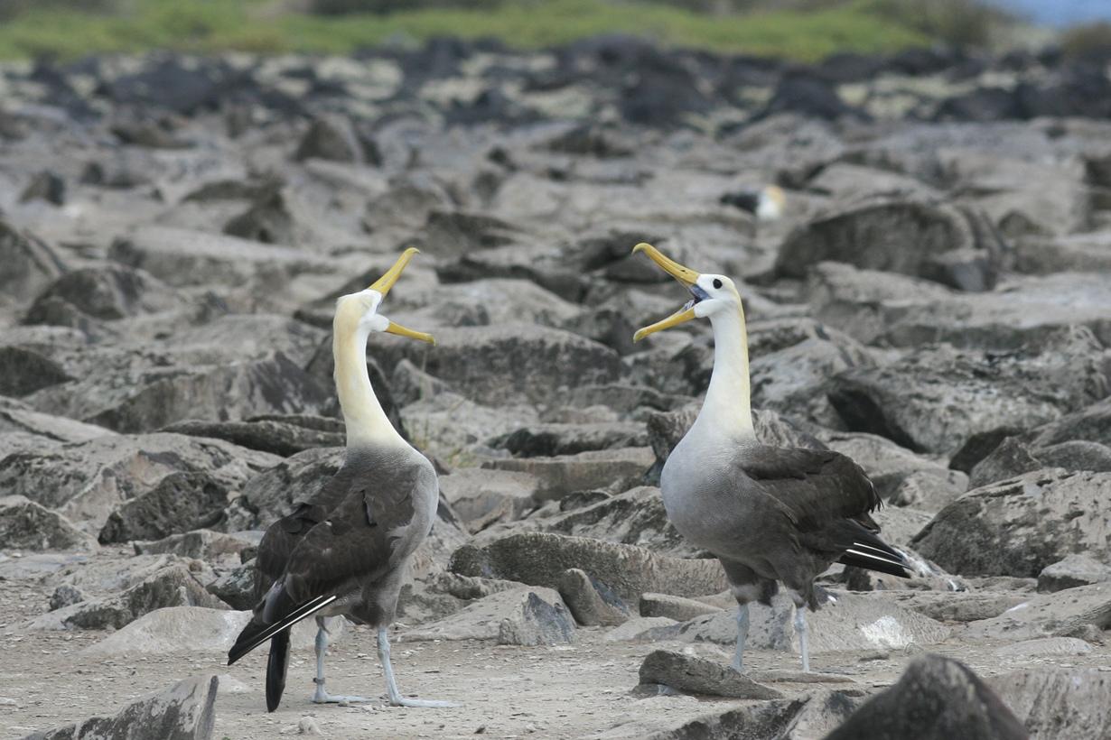 Галапагосские альбатросы. (Kerry Lannert)