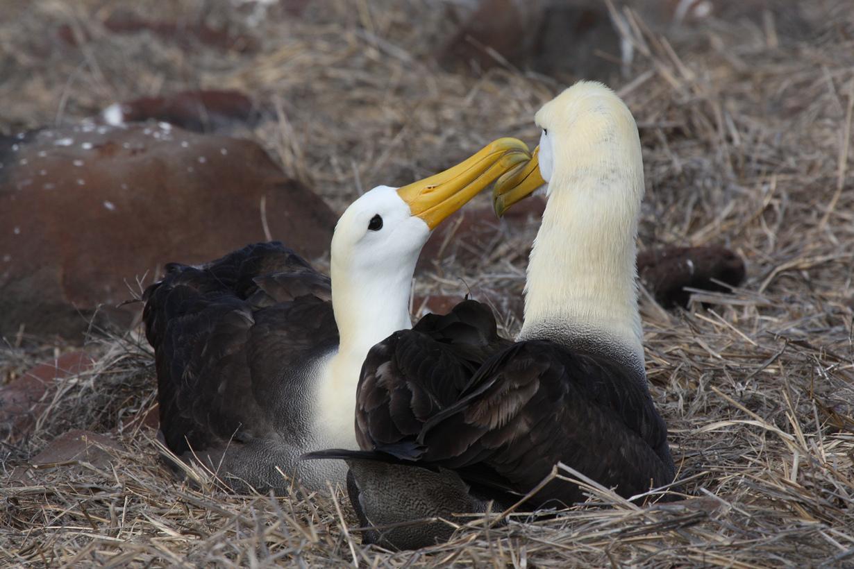 Галапагосские альбатросы. (Steven Bedard)