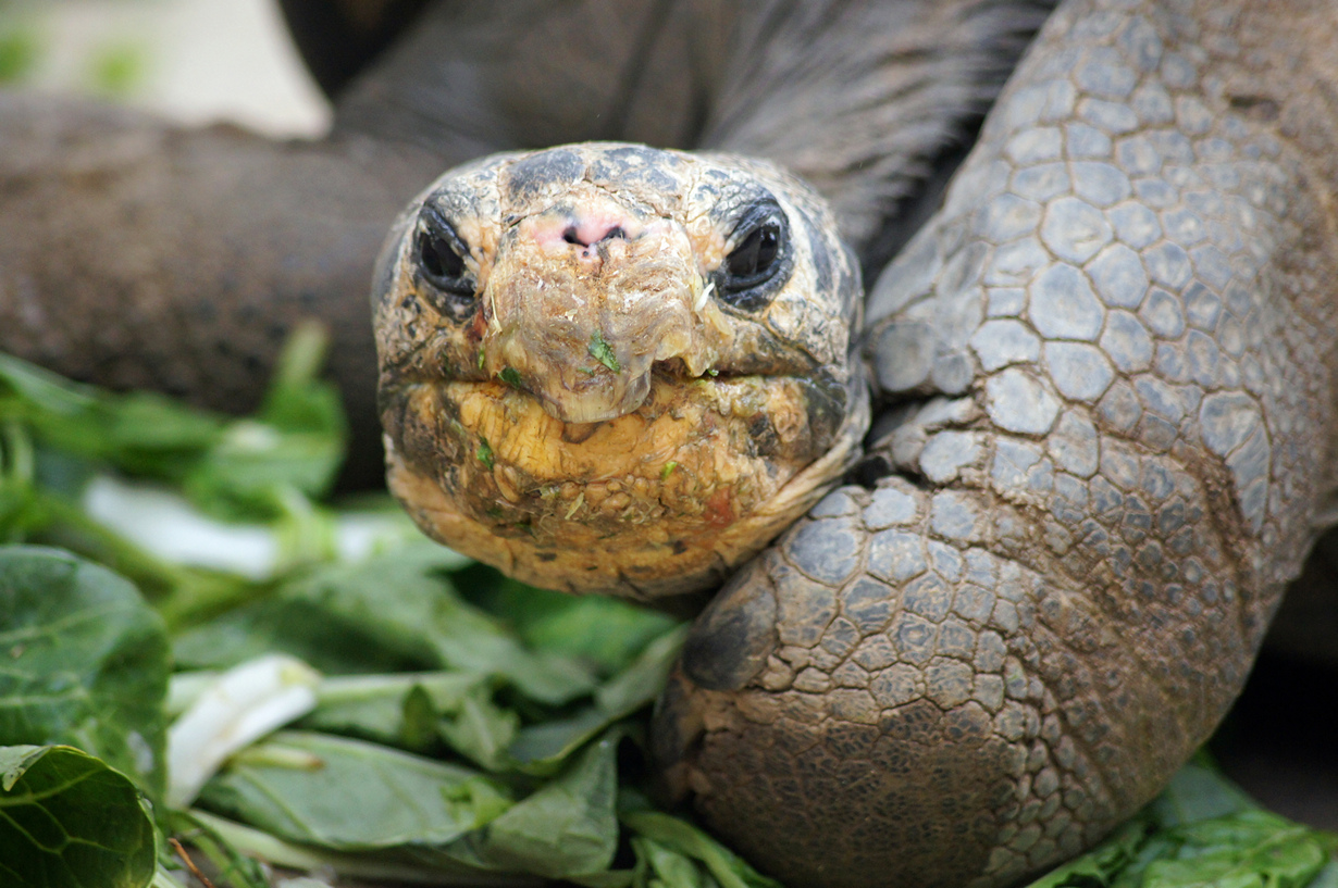Слоновая черепаха. (Cynr)