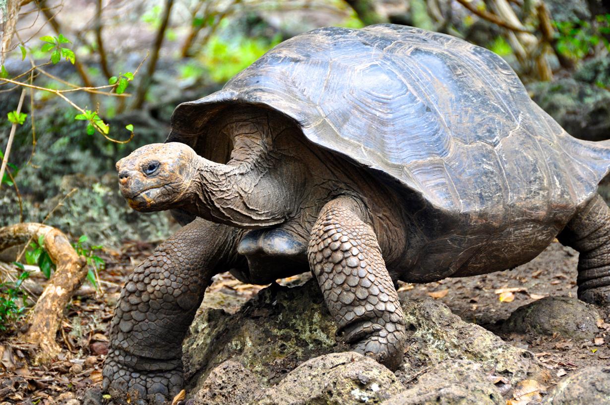 Слоновая черепаха. (Niccie King)