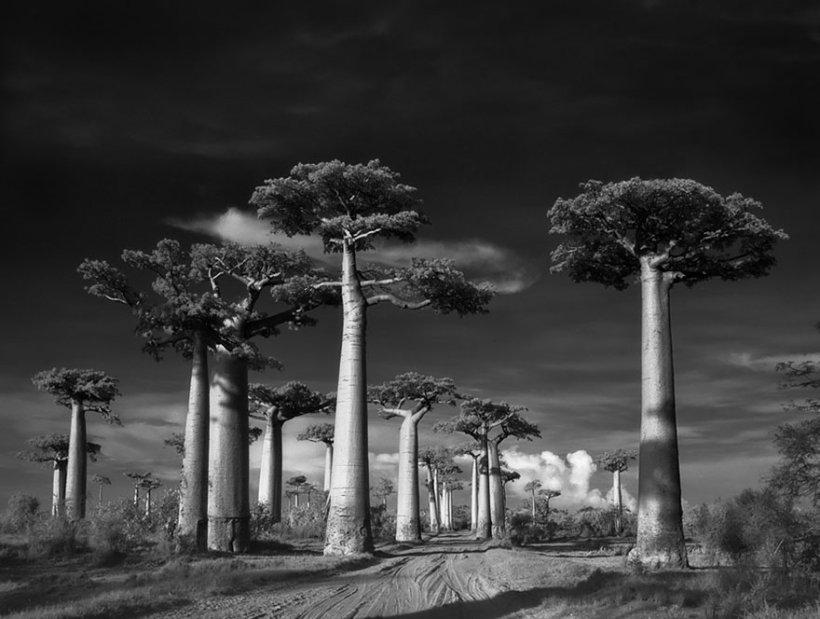 14 лет поисков самых древних деревьев-1