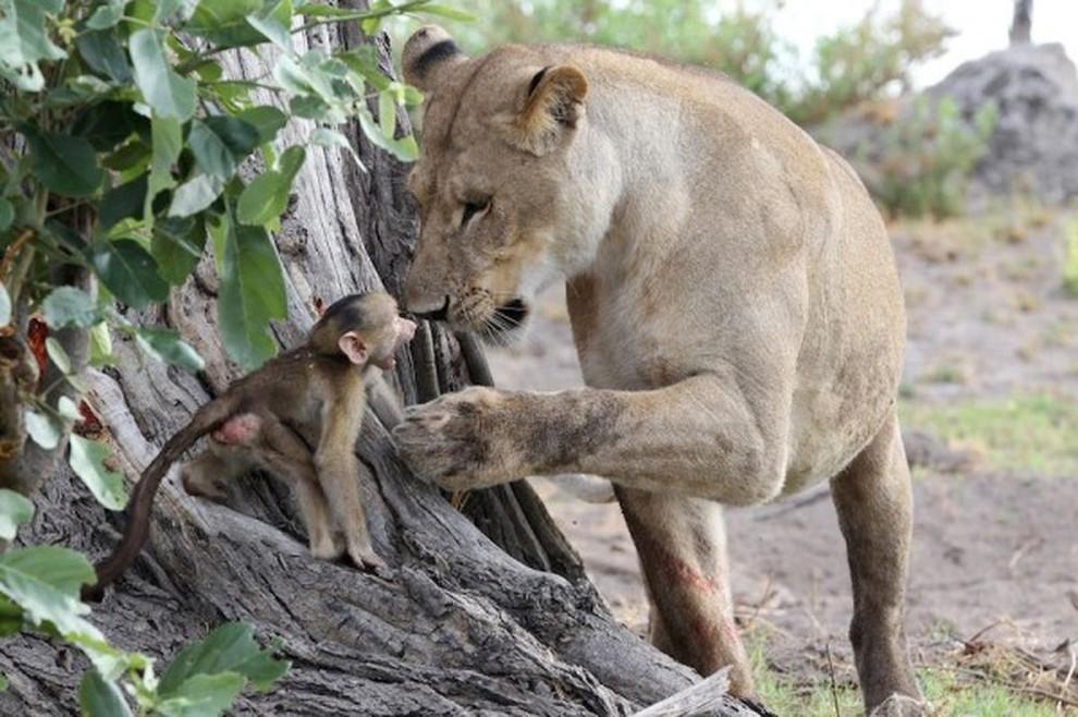 Львица убила бабуина, но то что она сделала с его детёнышем - поразительно!