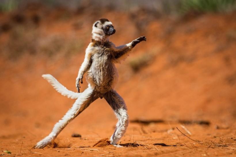«Сифака-танцор». Фото: Alison Buttigieg.