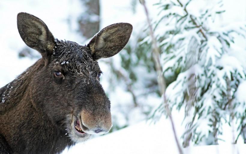 «Смеющийся лось». Фото: Sami Rahkonen.