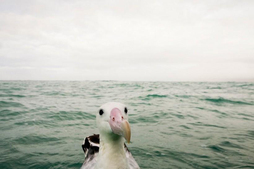 «Что тут происходит?» Любопытно альбатрос. Фото: Sebastian Kennerknecht.