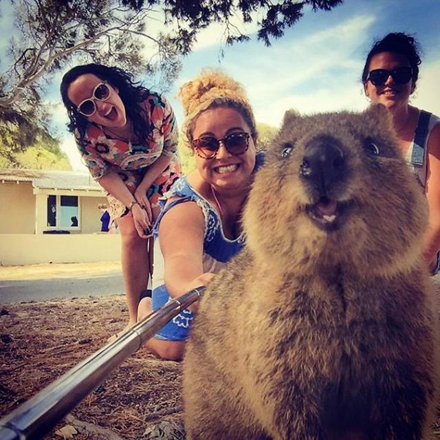 Cелфи с милейшими животными — квокками, очень популярны в Австралии