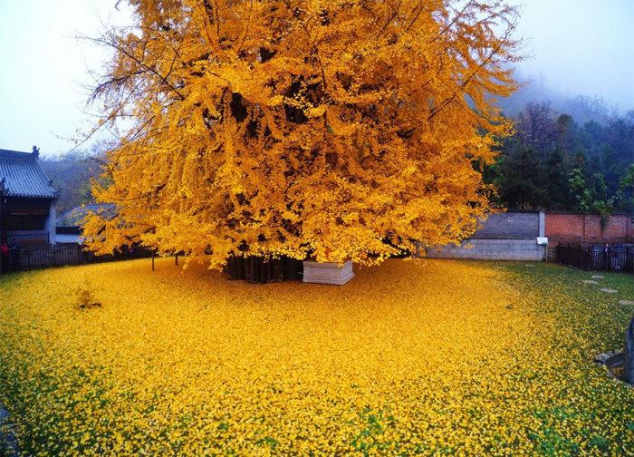 Дерево гинкго во дворе буддийского храма утопает в жёлтых листьях в Китае (5 фото)