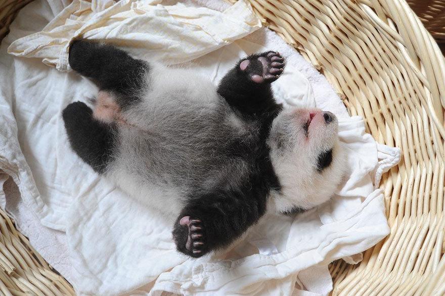 Удивительные малыши панд, спящие мирно в корзинах, покорили мир :)