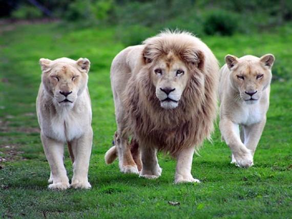 30. Две жены и льва доведут до седины.