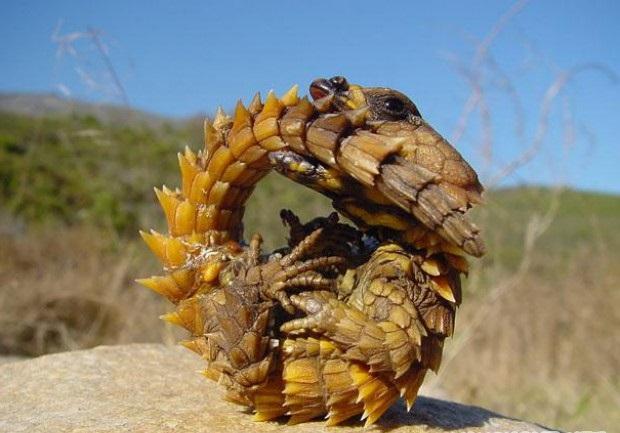 Необычное животное — Колючий дракон