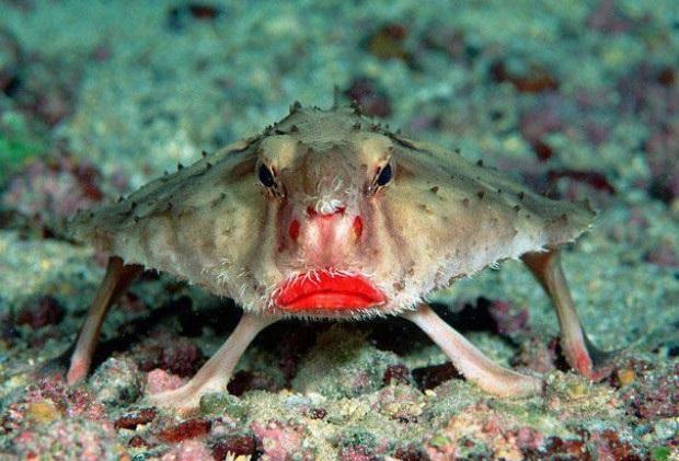 Необычная красногубая рыба — ласточка