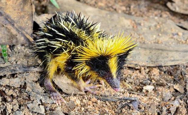 Необычное животное — тенрек