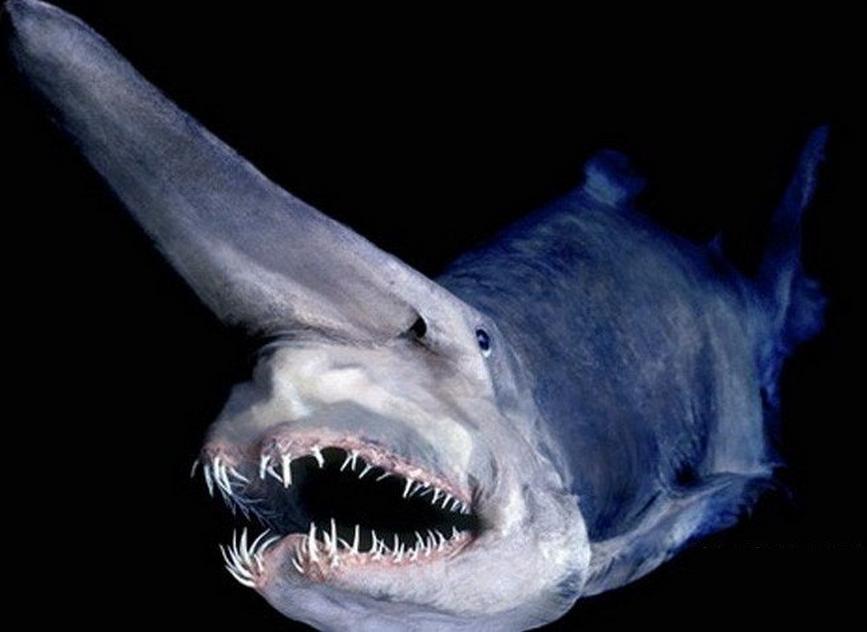 Акула-гоблин животные, факты