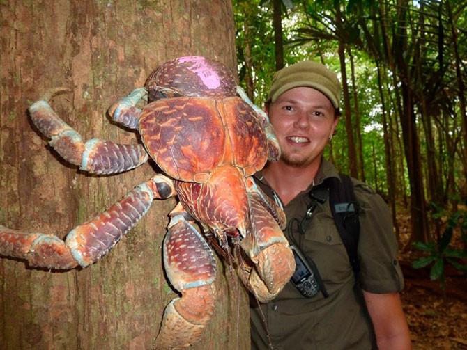 Рак пальмовый вор животные, факты
