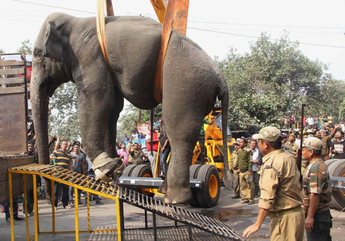 Безумный слон учинил разгром в индусском городке Силигури (6 фото)