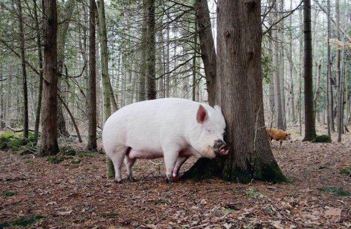 Мини-свинтус вырос в большую хрюшку (20 фото)